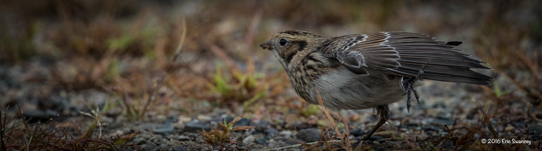 Lapland Longspur